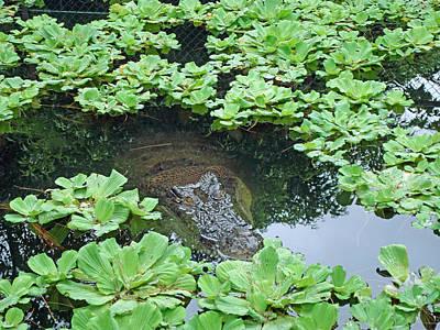 Photograph - Crocodile Hiding by Kay Novy