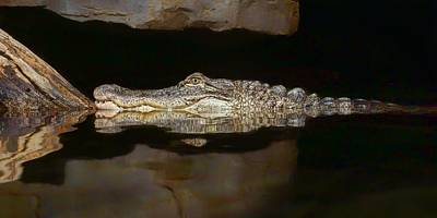 Photograph - Crocodile by Nikolyn McDonald