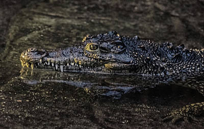 Reptiles Royalty-Free and Rights-Managed Images - Crocodile Reflections by Martin Newman