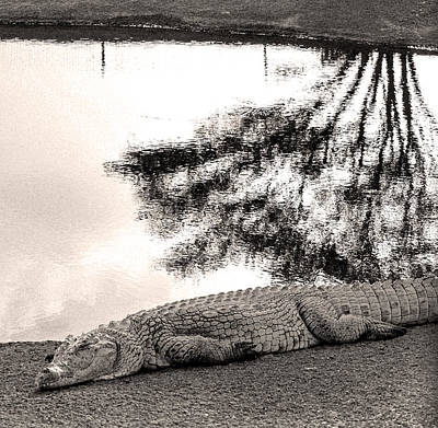 Israel Photograph - Crocodile Resting Time by Arik Baltinester
