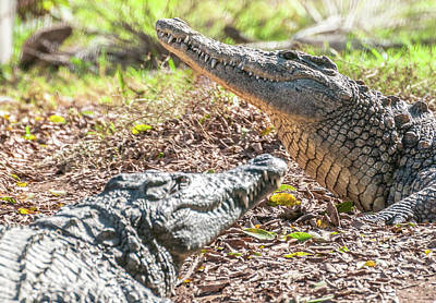Photograph - Crocodiles by Sergey Simanovsky