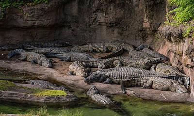 Crocodile Photograph - Crocodiles by Zina Stromberg