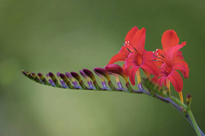 Photograph - Crocosmia by Angie Vogel