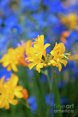 Photograph - Crocosmia Pauls Best Yellow Flower by Tim Gainey