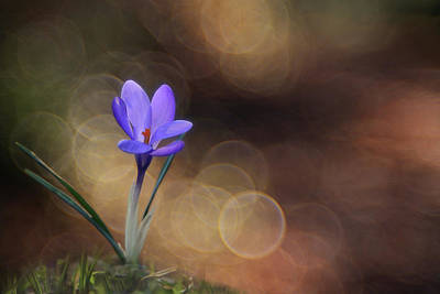 Photograph - Crocus #1 by Edoardo Gobattoni