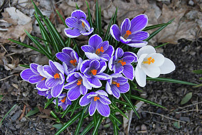 Photograph - Crocus 6675 by Guy Whiteley