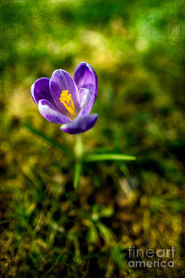 Crocuses Photograph - Crocus by Adrian Evans