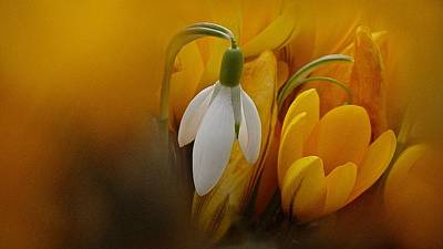 Photograph - Crocus Among Us by Richard Cummings