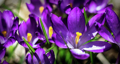Photograph - Crocus Amongst Us by Will Bailey