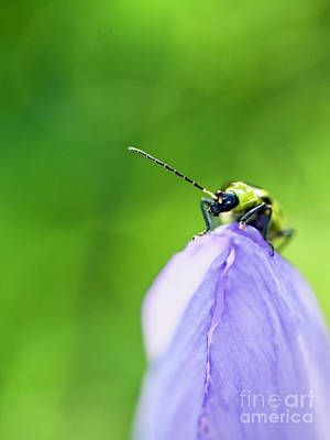 Cucumber Beetle Photograph - Crocus And A Beetle by R Morrison