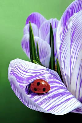 Photograph - Crocus And Ladybug by Carolyn Derstine