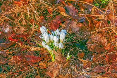 Photograph - Crocus And Leaves  by Leif Sohlman