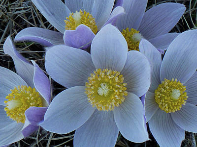 Crocus Blossoms Art Print