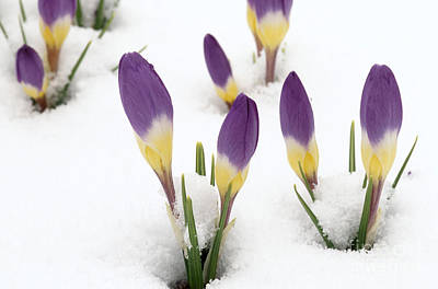 Photograph - Crocus Buds Peeking Through Snow by Alan L Detrick