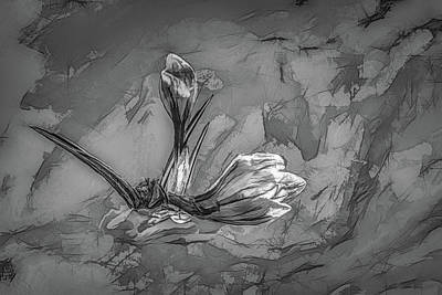 Photograph - Crocus Bw 1 #h2 by Leif Sohlman
