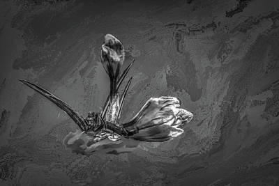 Photograph - Crocus Bw #h2 by Leif Sohlman