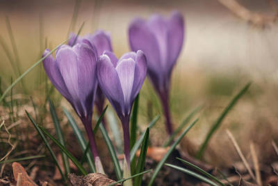 Photograph - Crocus by Cindy Grundsten