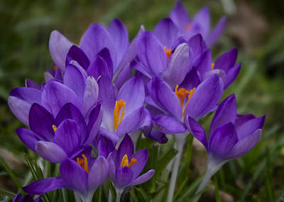 Photograph - Crocus Cluster by Shirley Mitchell