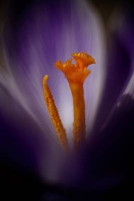 Photograph - Crocus Detail by John Meader