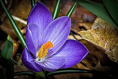 Photograph - Crocus Emerging by Gary Shepard