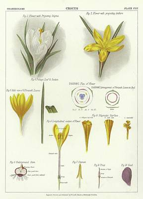 Botanical Drawing - Crocus by English School