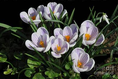 Photograph - Crocus Family by Frank Townsley
