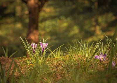 Crocuses Photograph - Crocus Garden by Chris Fletcher