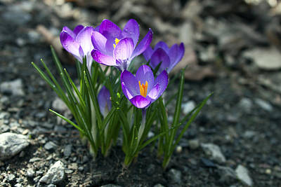 Crocus In Bloom #2 Art Print