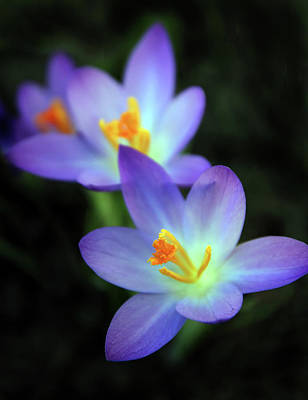 Duet Photograph - Crocus In Bloom by Jessica Jenney