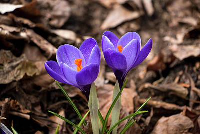 Photograph - Crocus In Spring 2017 I by Jeff Severson