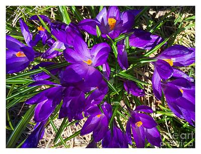 Photograph - Crocus In Sunlight by Barbara Griffin