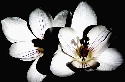 Photograph - Crocus In The Shadows by Angela Davies