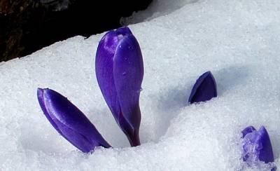 Photograph - Crocus In The Snow by Karen Molenaar Terrell