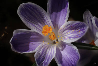 Photograph - Crocus by John Meader