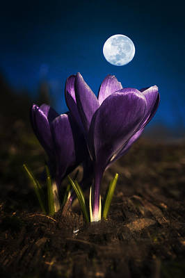 Crocus Moon Art Print