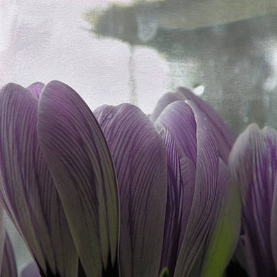 Photograph - Crocus Party by Sally Banfill