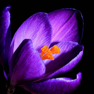Photograph - Crocus by Tammy Schneider