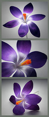 Photograph - Crocus Triptych. by Terence Davis