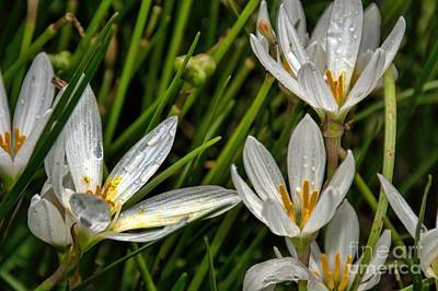 Photograph - Crocus White Flowers by Diana Mary Sharpton