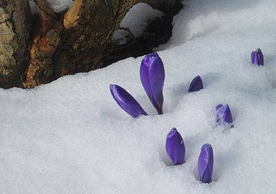 Photograph - Crocuses In The Snow by Karen Molenaar Terrell