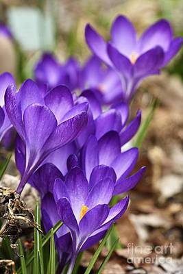 Crocus Photograph - Crocuses by Larry Ricker