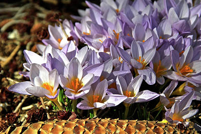 Crocuses Serenade Art Print