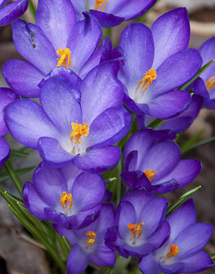 Crocuses Art Print by Tom McCarthy