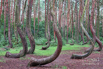 Photograph - Crooked Forest by Teresa Zieba