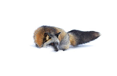 Photograph - Cross Fox by Steve McKinzie