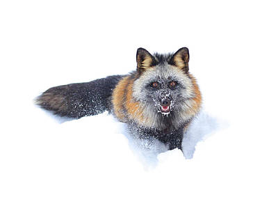 Photograph - Cross Fox Winter by Steve McKinzie