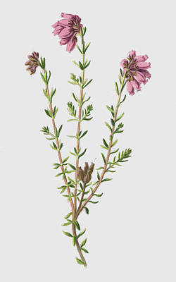 Cross Leaved Heath Art Print