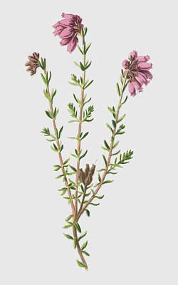 Botanical Drawing - Cross Leaved Heath by Frederick Edward Hulme