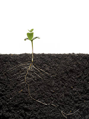 Plant Roots Photograph - Cross-section Of Soybean Seedling by Mark Thiessen