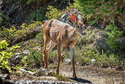 Photograph - Crossing Paths With A Black-tailed Deer by Belinda Greb